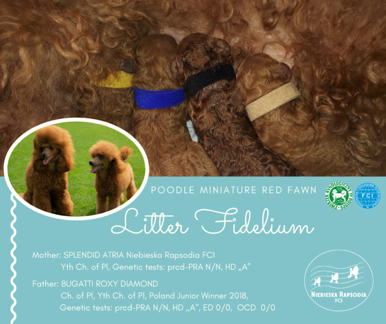 Miniature poodle red fawn puppies